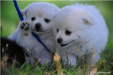 2 cute and affectionate pomeranian puppies for adoption