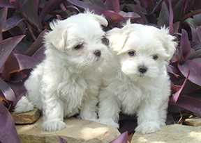 ELEGANT AND TRAINED MALTESE PUPPIES FOR ADOPTION