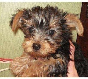 Adorable Yorkie Puppies For Free Adoption Just For You
