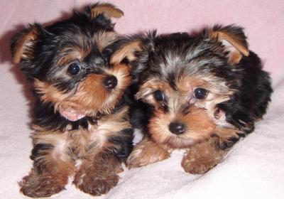 Tea  Cup Yorkie Puppy Babies For Free Adoption.