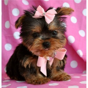 T ea cup Yorkie puppies for a happy home.