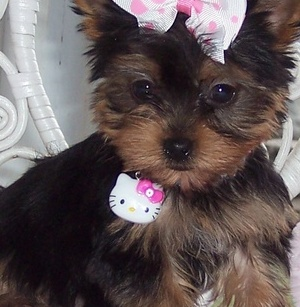 Tea cup yorkie puppies for adoption.