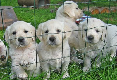 Vaccinated and health guarantee Labrador retriever puppies available