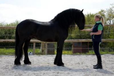 Beautiful and intelligent Friesian horse sale