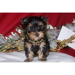 cute gorgeous Male and Female Yorkie puppies