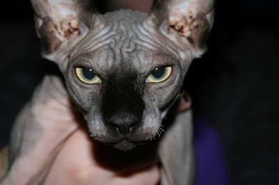 Marvelous Male and Female Sphynx Kittens