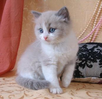 Ragdoll Kittens available now..young and loves cuddling..