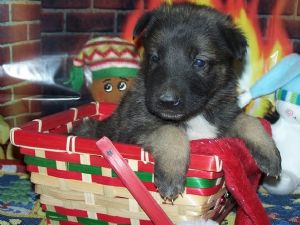 CUTE AND ADORABLE german sheperd PUPPIES FOR ADOPTION