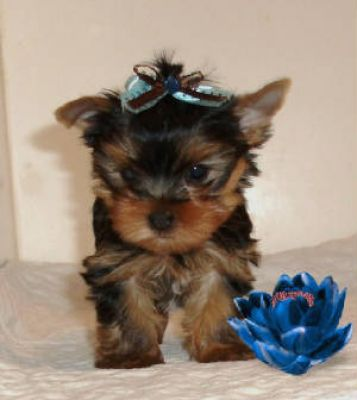 Affectiontae malw nad female Yorkshire terrier pupies for ale ,