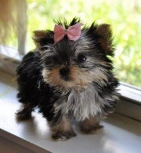 Healthy Male And Female Yorkie Puppies for a loving family.