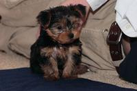 cute and adorable yorkie