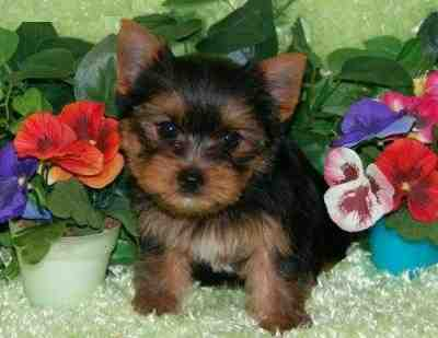 2 teacup yorkie puppies for free adoption