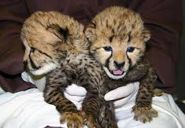Adorable lion cubs for sell