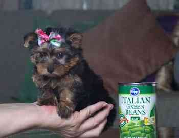 Two gorgeous Yorkie puppies remaining for adoption
