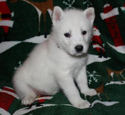two cute siberian husky puppies for sale