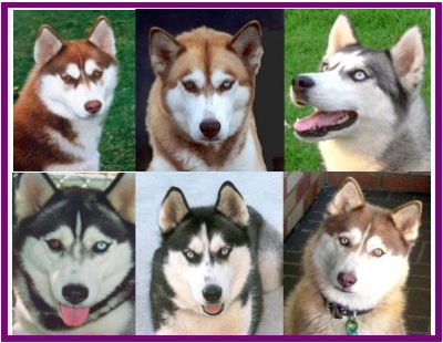 Siberian Husky Pups with paper $980 - $1500 M & F