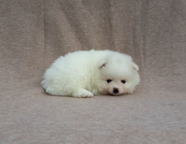 Very Fluffy Tiny White Pomeranian Puppies