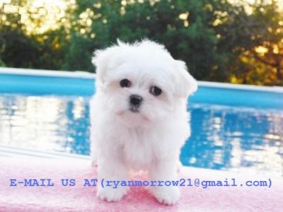 WHITE SUCCULENT MALTESE PUPPIES LOOKING FOR A NEW CARING HOME