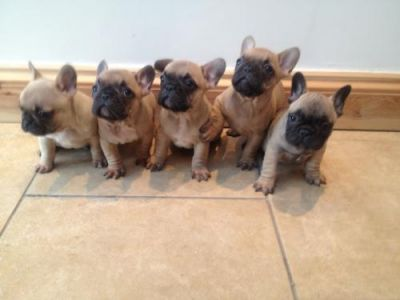 Reduced Reduced Reduced Stunning French Bulldog Puppies , Male, 1-3 months, fawn, Ready N  for sale.