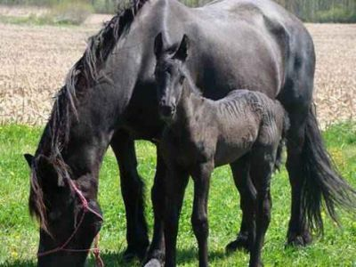 Beautiful and intelligent Friesian horses for adoption