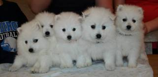 Adorable Japanese Spitz Puppies for sale