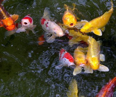Live golden koi fishes and red available for sale for Live koi for sale