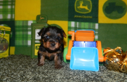 Yorkie puppies for sale (267) 989-9557