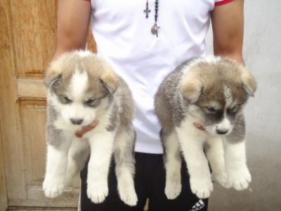 Akita puppies male and female