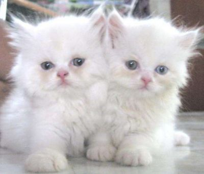 male and female persian kitten foe adoption