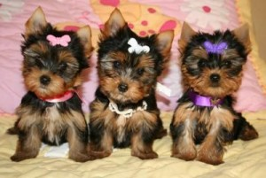 T ea cuo Yorkie puppies for a happy home.