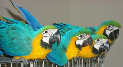 2 Males and 2 Females Blue and Gold Macaw Parrots For Sale