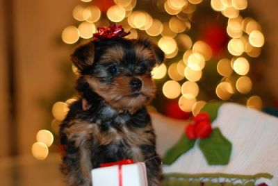 Nice and Lovely teacup yorkie puppies for free adoption