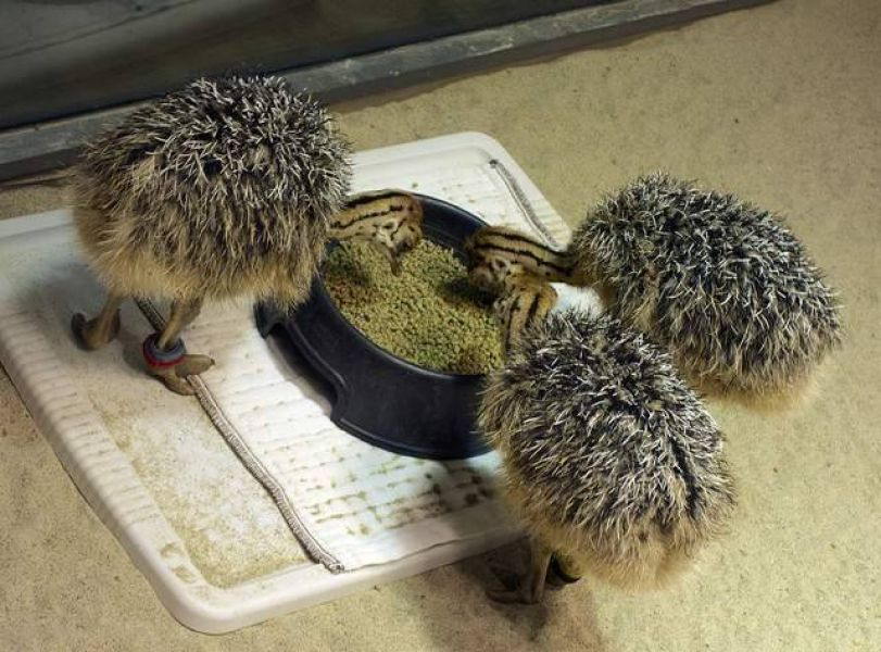 Fertilized Ostrich chicks and eggs