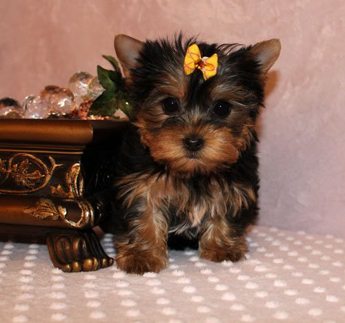 Yorkie Puppies For You