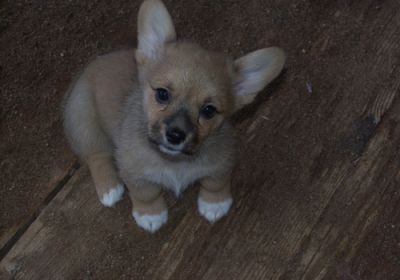 Pembroke Welsh Corgi Puppies For Rehoming!!!!!