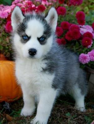 Proven Healthy Siberian Husky Puppies For Good Homes