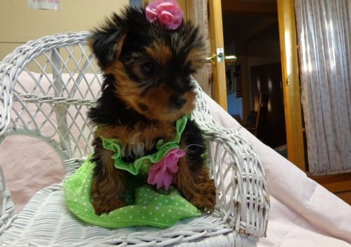 Yorkie puppies ready for good homes