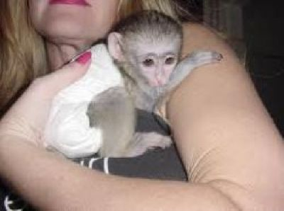 ADORABLE  CAPUCHIN MONKIES FOR NEW HOMES NOW.