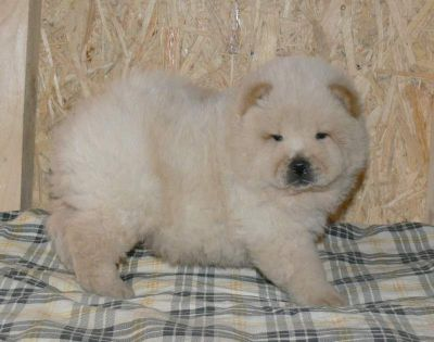 male and Female Chow Chow Puppy available now
