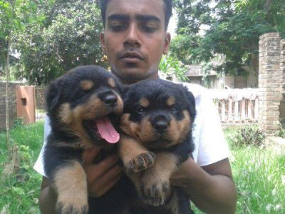 beautiful rottweiler pup ready to go for adoption.