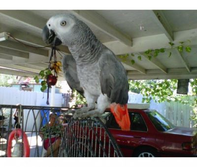 Africa grey parrots and eggs for sale
