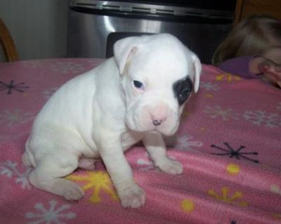 Charming Boxer Bulldog Puppies For Sale