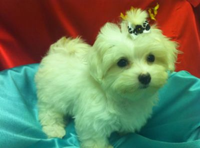 Adorable Male and Female Maltese   Puppies  for adoption