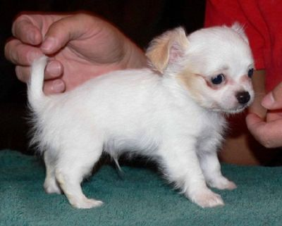 white Chihuahua puppies (long coat)
