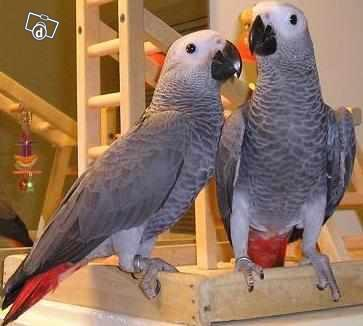 MALE AND FEMALE HAND-REARED BABY AFRICAN GREY PARROTS