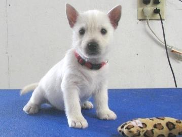 Cute Teacup West Highland White Terrier Puppies For Adoption