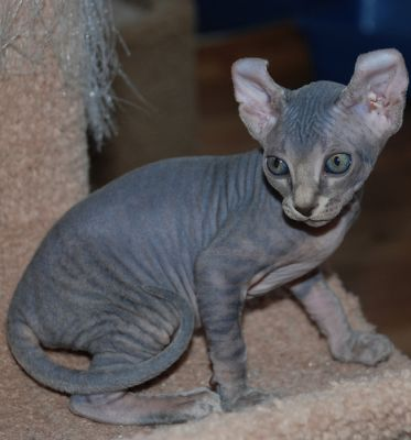 Beautiful & Healthy Sphynx Kittens For Good Homes