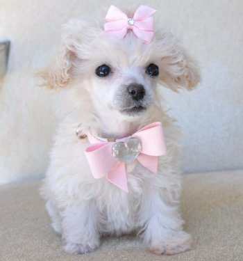 tea cup poodle puppies ready for a home companionship