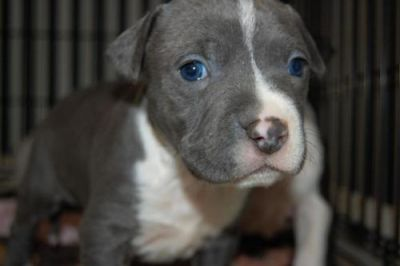 Blue eye American Pit Bull Terrier Puppies