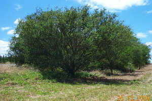 Tree lucerne seed - Approximately 100 seeds - $7.50